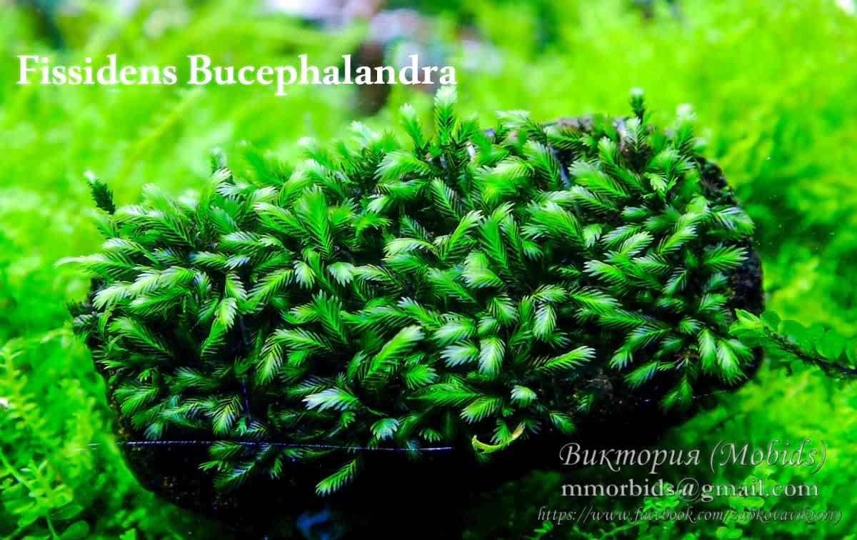 Fissidens Bucephalandra