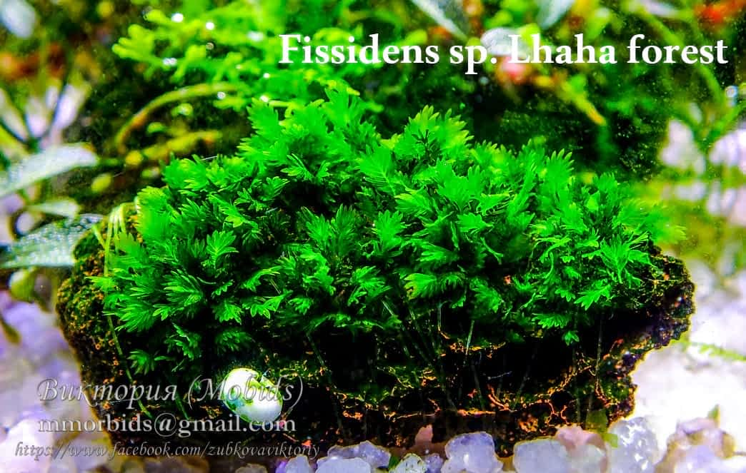 Fissidens sp. Lhaha forest