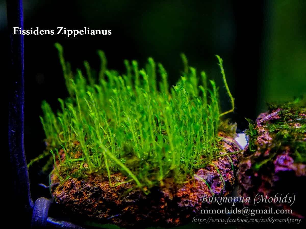 Fissidens Zippelianus (zipper moss)